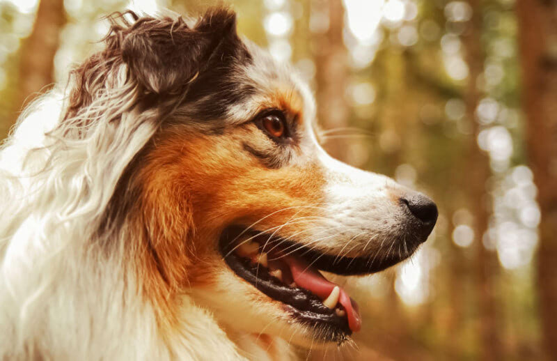 5 Facts You Didn't Know About The Australian Shepherd