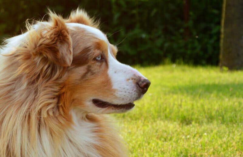 5 Surprising Facts About The Tri Australian Shepherd