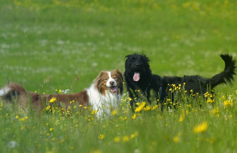 7 Reasons Why an Australian Shepherd Is Perfect for You