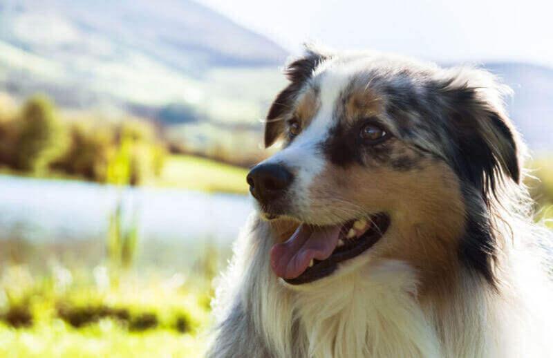 7 Unique & Inspiring Facts About the Australian Shepherd!