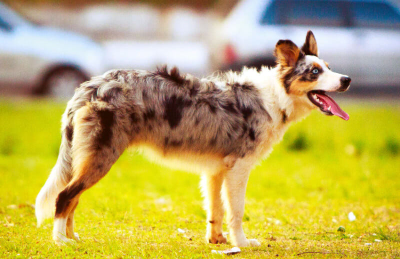 An Introduction: All About the Australian Shepherd