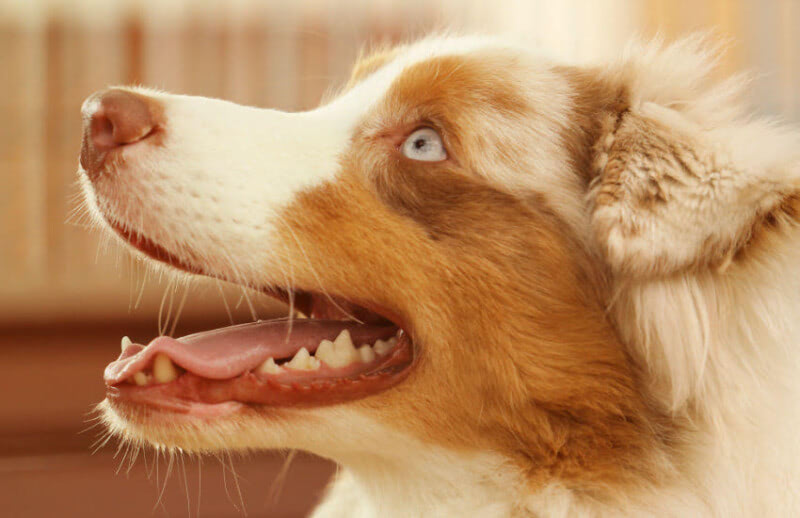 Are You Feeding Your Australian Shepherd the Right Dog Food?