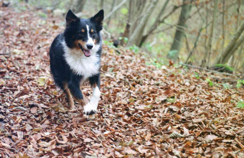 Are You Giving Your Australian Shepherd Enough Exercise?