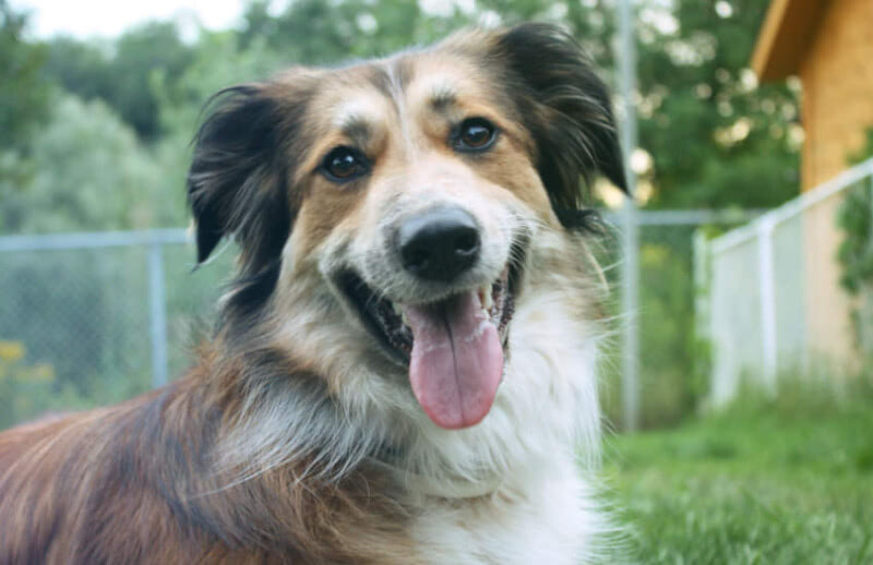 Australian Shepherd Prices That Will Surprise You in 2021!