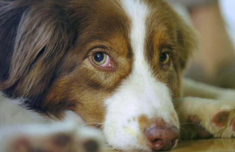 Close up shot Australian Shepherd dog lying on floor