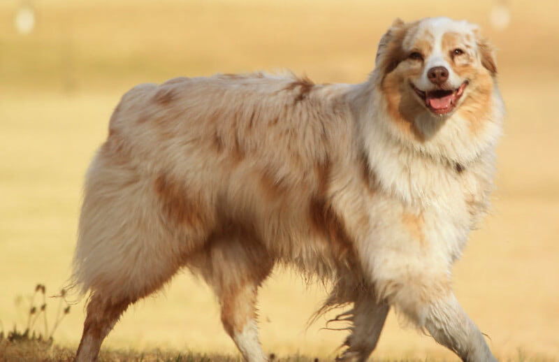 Did You Know Some Australian Shepherds Don't Have Tails?