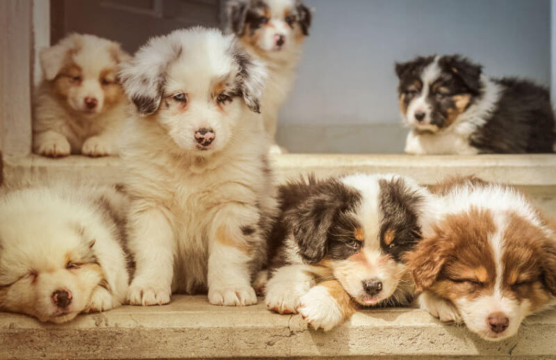 Do You Know All of the Colours of an Australian Shepherd?