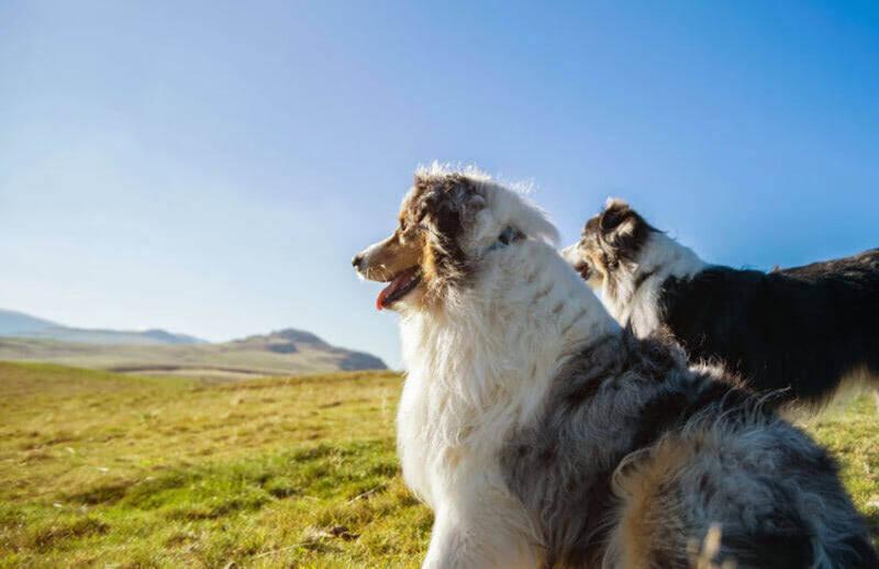 How Big Does an Australian Shepherd Grow To?
