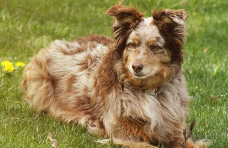 How Often Should You Be Grooming Your Australian Shepherd?