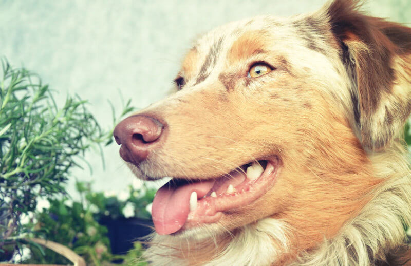 How to Deal in Isolation with Your Aussie Shepherd