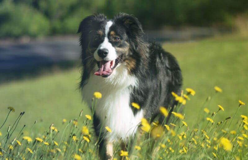 How to Find a Australian Shepherd Puppy for Sale in Tasmania