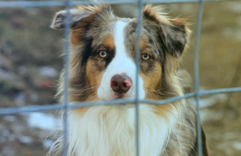 Separation Anxiety with an Australian Shepherd Puppy?