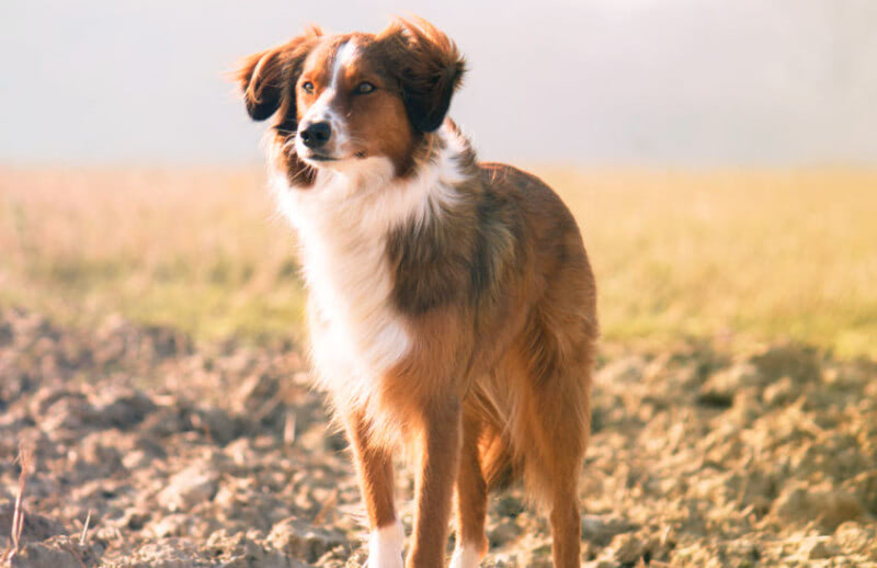 The 11 Best Things About Owning a Australian Shepherd