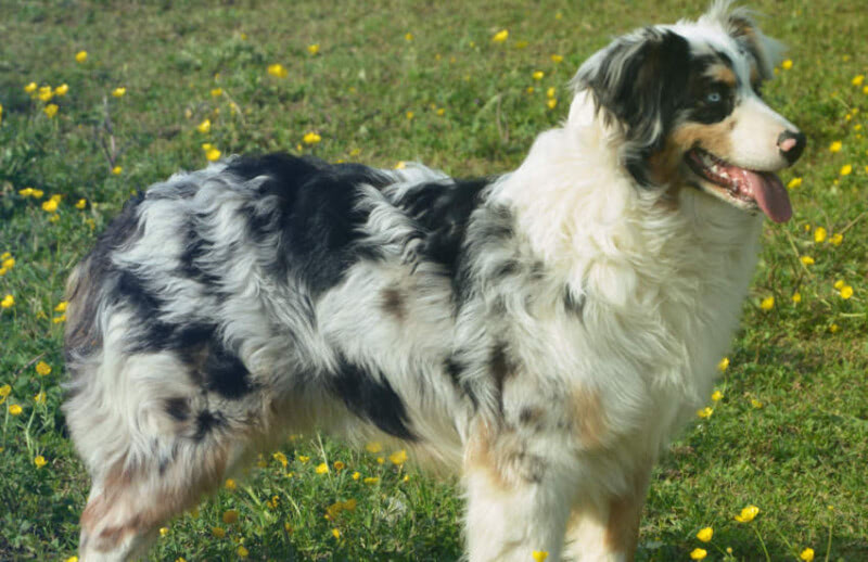What is The Average Price for an Australian Shepherd?