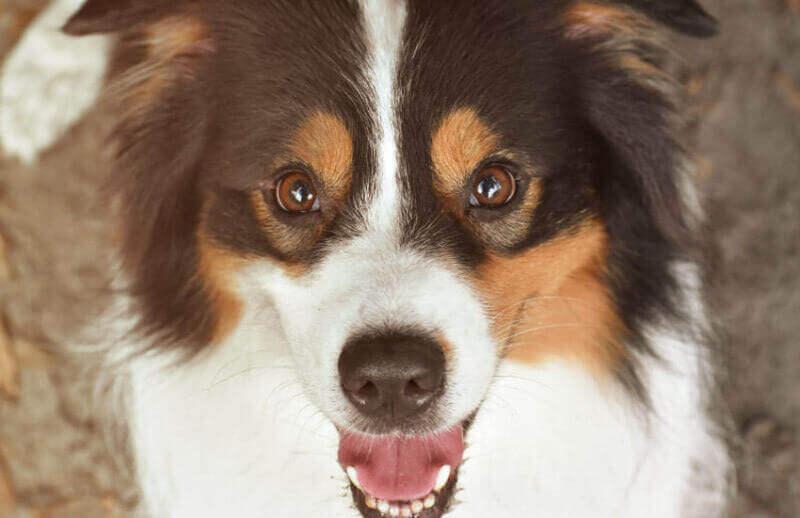 Where to Buy Australian Shepherd Puppies in Victoria