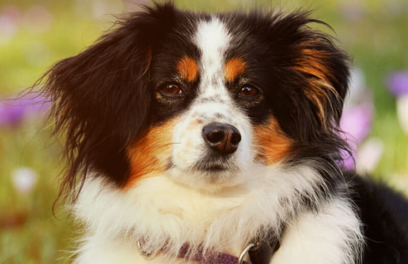 Why Your Australian Shepherd Needs to Be Trained as a Puppy